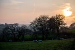 Den ljusa gula solen som ställer in över ett fält av får på en lantgård arkivbild