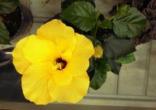 Den ljusa gula stora blomman av den purpurfärgade hibiskusen steg sinensisen på gräsplan lämnar naturlig bakgrund Karkade tropisk arkivfoton