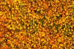 Den ljusa guling-, gräsplan- och apelsinhöstnedgången lämnar bakgrund C arkivbild