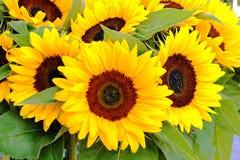 Den ljusa gulingen för sommar blommar upp solrosor tätt som en garnering Royaltyfria Foton