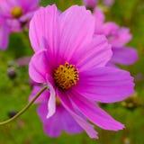 Den ljusa härliga rosa färgen blommar på den gröna suddiga bakgrunden Fotografering för Bildbyråer