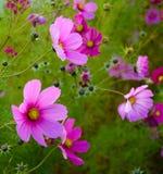 Den ljusa härliga rosa färgen blommar på den gröna suddiga bakgrunden Arkivfoto