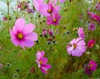 Den ljusa härliga rosa färgen blommar på den gröna suddiga bakgrunden Arkivbild