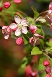 Den ljusa körsbärsröda blomningen blommar i skott för vårsolskenmakro Royaltyfri Bild