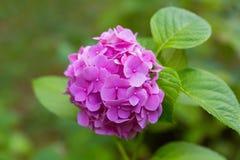 Den ljusa ljusa lila blommaflocken blommar i trädgården på en sommar Arkivfoton