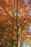 Den ljusa orange aspen lämnar med liten sunburst royaltyfri foto