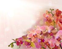 Den ljusa orkidén blommar med rosa remsor på ljus bakgrund Arkivfoto