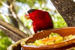 Den ljusa papegojan matar från bunken med frö i Loro parkerar (Loro Royaltyfria Bilder