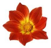 Den ljusa röda blomman av en dahlia på en vit isolerade bakgrund med den snabba banan Blomma för designen, textur, vykortet, omsl Royaltyfria Foton