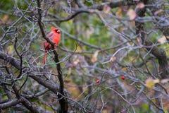 Den ljusa röda kardinalen sitter på en filial i nedgången royaltyfri fotografi