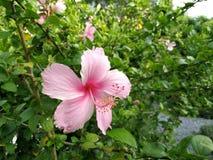 Den ljusa rosa blomman av den purpurfärgade hibiskusen på gräsplan lämnar natura royaltyfri bild