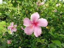 Den ljusa rosa blomman av den purpurfärgade hibiskusen på gräsplan lämnar natura arkivbilder