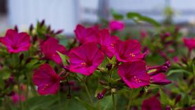 Den ljusa rosa bougainvillean blommar på trädgården Fotografering för Bildbyråer