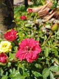 Den ljusa rosen ser bekvämmare royaltyfria bilder