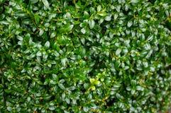 Den ljusa skinande våta gröna lövverket av buxbomBuxussempervirens som den perfekta bakgrunden för något naturligt tema arkivbild