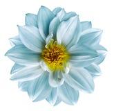 Den ljusa turkosblomman på isolerad vit isolerade bakgrund med den snabba banan closeup Härlig vit-turkos blomma för Royaltyfri Foto