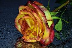 Den ljusa våta guling-röda rosen med vatten tappar på mörk bakgrund royaltyfri foto