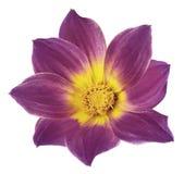 Den ljusa violetta blomman av en dahlia på en vit isolerade bakgrund med den snabba banan Blomma för designen, textur, vykortet,  Royaltyfria Foton