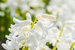 Den ljusa vita hyacinten blommar makro Royaltyfria Bilder