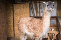 Den ljusa vuxna laman ser åt sidan royaltyfria foton