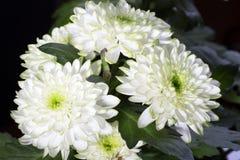 Den ljusgröna krysantemumet blommar closeupen Royaltyfri Fotografi