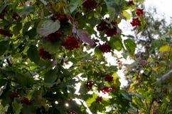 Den ljusröda bärviburnumen är mellan den gröna lövverket Arkivfoto