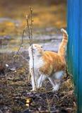 Den ljust rödbrun katten gick för en gå på våren som var utvändig och sniffade b arkivfoto