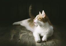 Den ljust rödbrun katten ligger beautifully och klibbat ut hans tunga Royaltyfri Fotografi