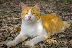Den ljust rödbrun katten sitter på jordning och poserar för kamera Fotografering för Bildbyråer