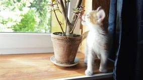 Den ljust rödbrun kattungen biter den hem- växten på fönsterbrädan stock video