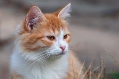 Den ljust rödbrun kattungen ser in i avståndet Arkivfoton