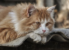 Den ljust rödbrun kattungen som ligger på, kritiserar Fotografering för Bildbyråer