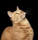Ljust rödbrun katt på svart bakgrund som ser upp Arkivfoton