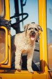 Den lockiga bruna hundbanhoppningen står på konstruktionsmaskinen Fotografering för Bildbyråer