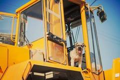 Den lockiga bruna hundbanhoppningen står på konstruktionsmaskinen Arkivbilder