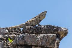 den lokaliserade mayan mexico halvön fördärvar tulumen yucatan gammal stad Tulum Archaeological plats Riviera Maya mexico Royaltyfri Foto