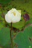 Den Lotus blomman är en blomma i det naturligt Arkivfoton