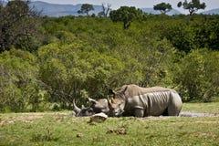 Den lösa vita noshörningen som tar gyttjebadet på Kruger, parkerar, Sydafrika Fotografering för Bildbyråer