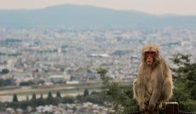 Den lugna japanska Macaqueapan sitter med tillbaka till det Kyoto landskapet Royaltyfria Foton