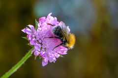 Den lurviga humlan samlar nektar Arkivbild