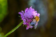 Den lurviga humlan samlar nektar Fotografering för Bildbyråer