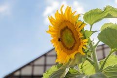 Den lurviga humlan samlar pollenguling Arkivfoton