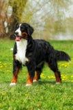 Den lyckliga hunden för det familjBernese berget på sommarnaturen går fotografering för bildbyråer