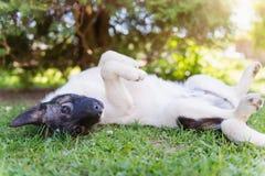 Den lyckliga hunden som ligger på baksida i gräs med fördjupning, tafsar Royaltyfri Fotografi