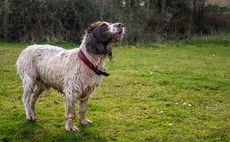 Den lyckliga hunden som skäller på solig dag, går Arkivfoton