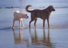 Den lyckliga hundkapplöpningen spelar i grunt vatten på stranden Royaltyfri Bild