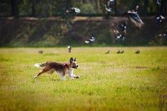 Den lyckliga kantcollien jagar en flock av fåglar Royaltyfri Bild