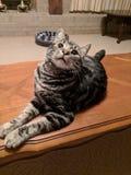 Den lyckliga katten, daltar liv royaltyfria bilder