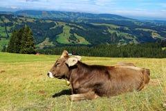 Den lyckliga kon i alpint betar av Allgäu fjällängar Royaltyfria Foton