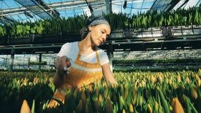 Den lyckliga kvinnan kontrollerar nya tulpan i jordning och väljer dem stock video